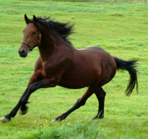 think you can stop one of these horses when it wants to run away?  How about three of them without halters?