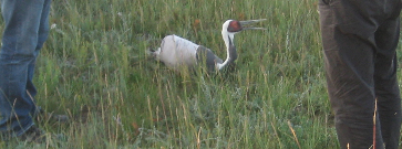 crane chick to be banded