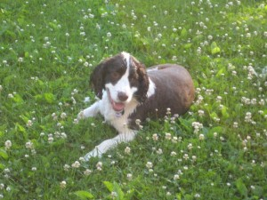 My English Springer Bella after a swim—6/11/08