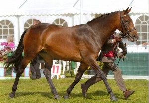 this gives you an idea how big  a Cleveland Bay horse is